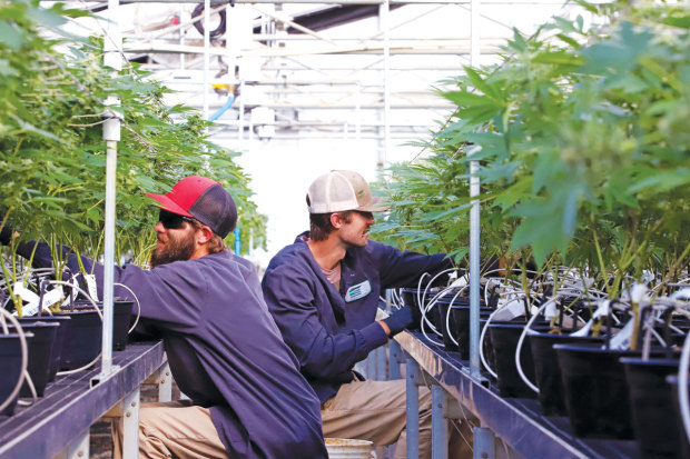 CLONE ZONE: Workers tend the plants at Harborside Farms in Salinas. Photo Courtesy of Harborside Farms