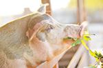 Thumbnail for Should Livestock Eat Pot?